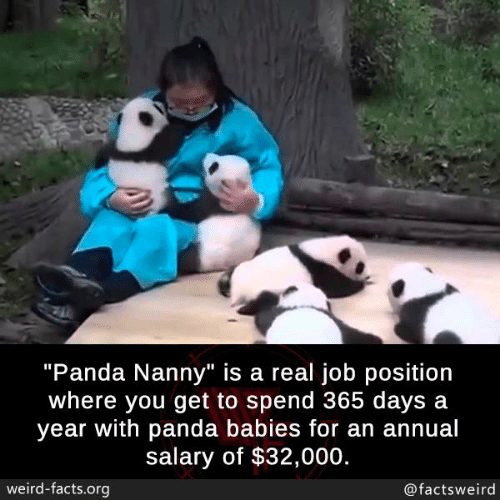 """nanny: """"Panda Nanny"""" is a real job position  where you get to spend 365 days a  year with panda babies for an annual  salary of $32,000.  weird-facts.org  @factsweird"""