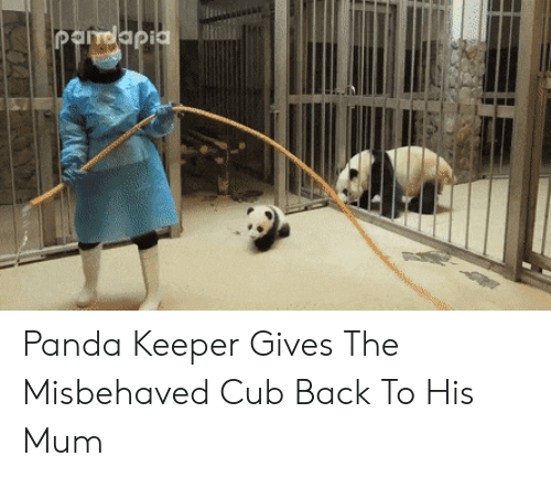 cub: Pandapia Panda Keeper Gives The Misbehaved Cub Back To His Mum