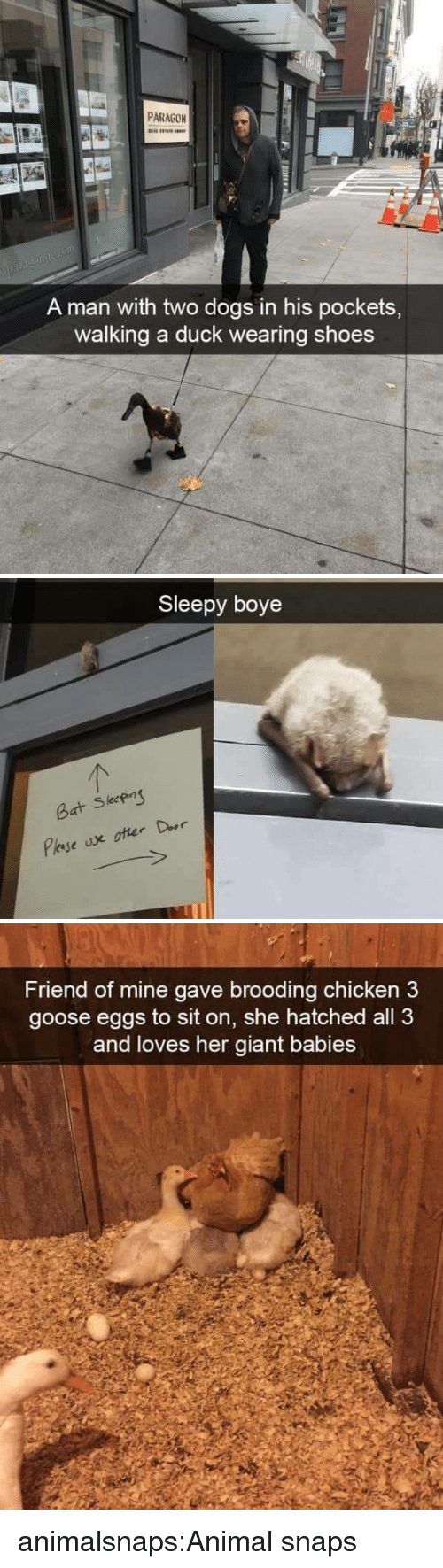 Boye: PARAGON  A man with two dogs in his pockets,  walking a duck wearing shoes   Sleepy boye  leeP  Bat S   Friend of mine gave brooding chicken3  goose eggs to sit on, she hatched all 3  and loves her giant babies animalsnaps:Animal snaps