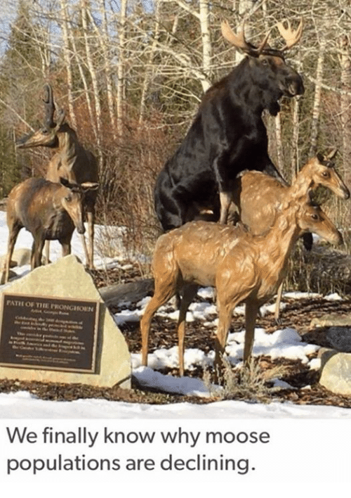 Populism: PATH OF TIE PRONGHODIN  We finally know why moose  populations are declining.