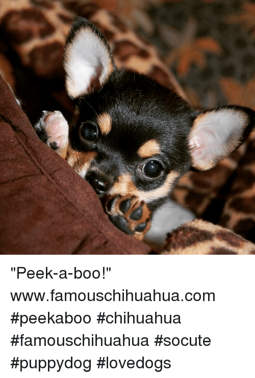 "Boo, Chihuahua, and Memes: ""Peek-a-boo!"" www.famouschihuahua.com #peekaboo #chihuahua #famouschihuahua #socute #puppydog #lovedogs"