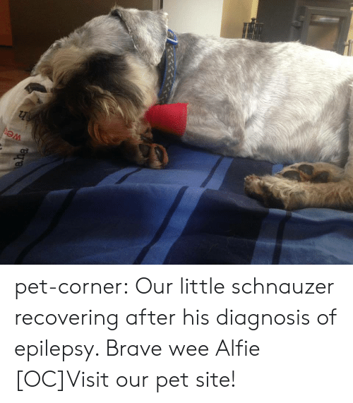 Cats, Cute, and Tumblr: pet-corner:  Our little schnauzer recovering after his diagnosis of epilepsy. Brave wee Alfie [OC]Visit our pet site!