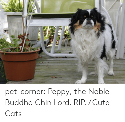 peppy: pet-corner:  Peppy, the Noble Buddha Chin Lord. RIP. / Cute Cats