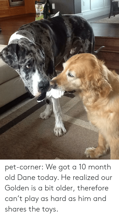 Tumblr, Blog, and Http: pet-corner:  We got a 10 month old Dane today. He realized our Golden is a bit older, therefore can't play as hard as him and shares the toys.