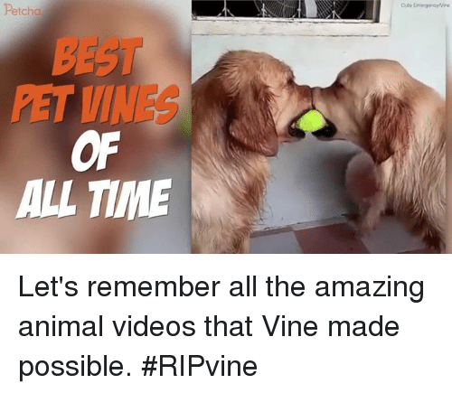 Animal Videos: Petcha  PET VINES  OF  ALL TIME Let's remember all the amazing animal videos that Vine made possible. #RIPvine