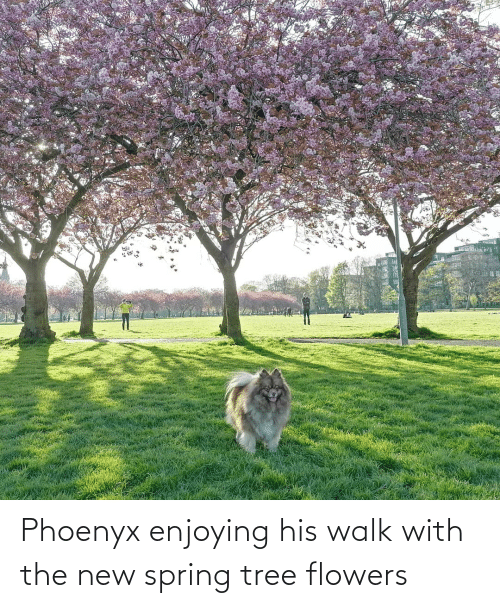 Flowers, Spring, and Tree: Phoenyx enjoying his walk with the new spring tree flowers
