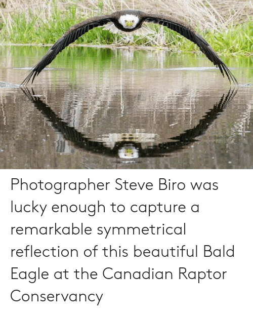 remarkable: Photographer Steve Biro was lucky enough to capture a remarkable symmetrical reflection of this beautiful Bald Eagle at the Canadian Raptor Conservancy