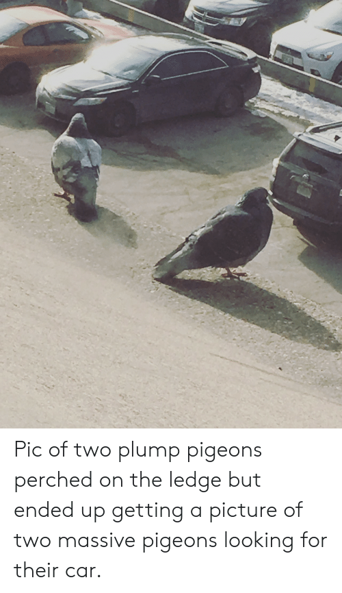plump: Pic of two plump pigeons perched on the ledge but ended up getting a picture of two massive pigeons looking for their car.