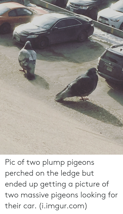 plump: Pic of two plump pigeons perched on the ledge but ended up getting a picture of two massive pigeons looking for their car. (i.imgur.com)