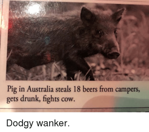 Drunk, Memes, and Australia: Pig in Australia steals 18 beers from campers,  gets drunk, fights cow. Dodgy wanker.