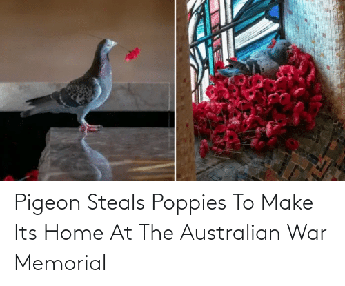 Poppies: Pigeon Steals Poppies To Make Its Home At The Australian War Memorial