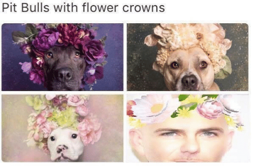 Bulls: Pit Bulls with flower crowns