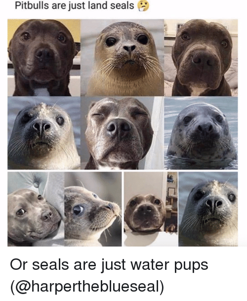 Instagram, Target, and Water: Pitbulls are just land seals Or seals are just water pups (@harpertheblueseal)