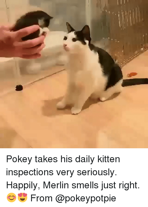 Memes, 🤖, and Merlin: Pokey takes his daily kitten inspections very seriously. Happily, Merlin smells just right. 😊😍 From @pokeypotpie