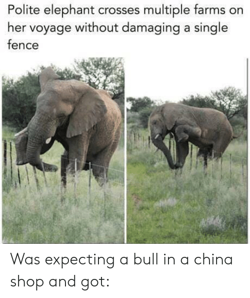 China, Elephant, and Single: Polite elephant crosses multiple farms on  her voyage without damaging a single  fence Was expecting a bull in a china shop and got: