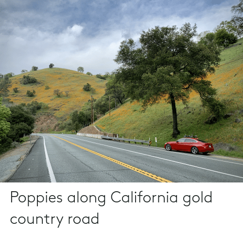 Poppies: Poppies along California gold country road