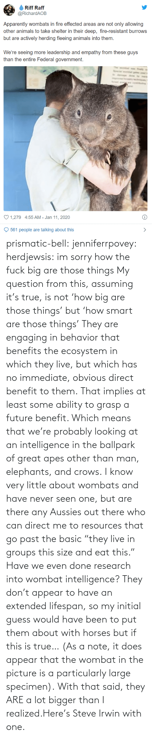 "At Least: prismatic-bell:  jenniferrpovey: herdjewsis: im sorry how the fuck big are those things My question from this, assuming it's true, is not 'how big are those things' but 'how smart are those things' They are engaging in behavior that benefits the ecosystem in which they live, but which has no immediate, obvious direct benefit to them. That implies at least some ability to grasp a future benefit. Which means that we're probably looking at an intelligence in the ballpark of great apes other than man, elephants, and crows. I know very little about wombats and have never seen one, but are there any Aussies out there who can direct me to resources that go past the basic ""they live in groups this size and eat this."" Have we even done research into wombat intelligence? They don't appear to have an extended lifespan, so my initial guess would have been to put them about with horses but if this is true… (As a note, it does appear that the wombat in the picture is a particularly large specimen).  With that said, they ARE a lot bigger than I realized.Here's Steve Irwin with one."