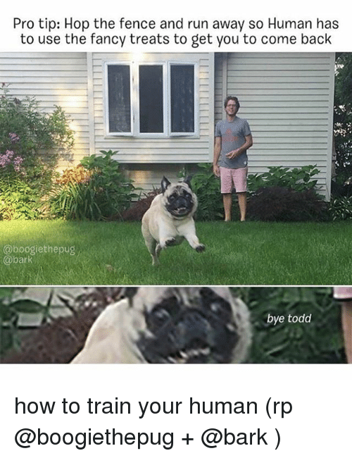 Memes, Run, and Fancy: Pro tip: Hop the fence and run away so Human has  to use the fancy treats to get you to come back  @boogiethepug  @bark  bye todd how to train your human (rp @boogiethepug + @bark )