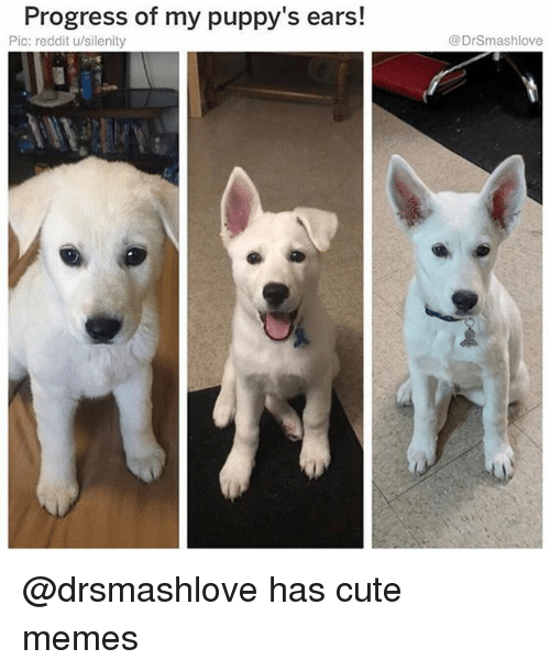 Cute, Funny, and Memes: Progress of my puppy's ears!  Pic: reddit u/silenity  @DrSmashlove @drsmashlove has cute memes