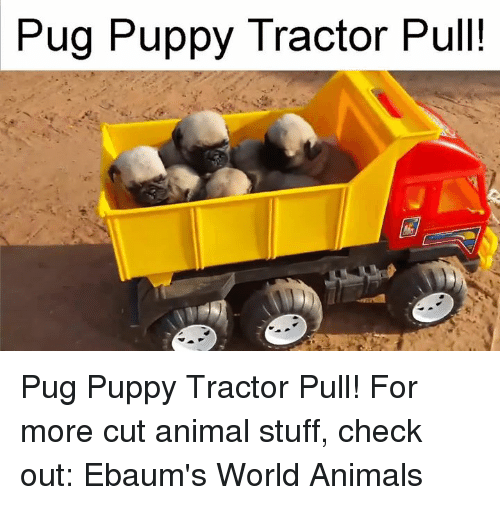 ebaums: Pug Puppy Tractor Pull! Pug Puppy Tractor Pull!  For more cut animal stuff, check out: Ebaum's World Animals