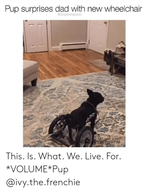 Surprises: Pup surprises dad with new wheelchair  the frenchie This. Is. What. We. Live. For. *VOLUME*Pup @ivy.the.frenchie
