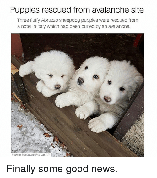 Funny, Hotel, and Italy: Puppies rescued from avalanche site  Three fluffy Abruzzo sheepdog puppies were rescued from  a hotel in Italy which had been buried by an avalanche.  Marisa Basilavecchia via AP Finally some good news.