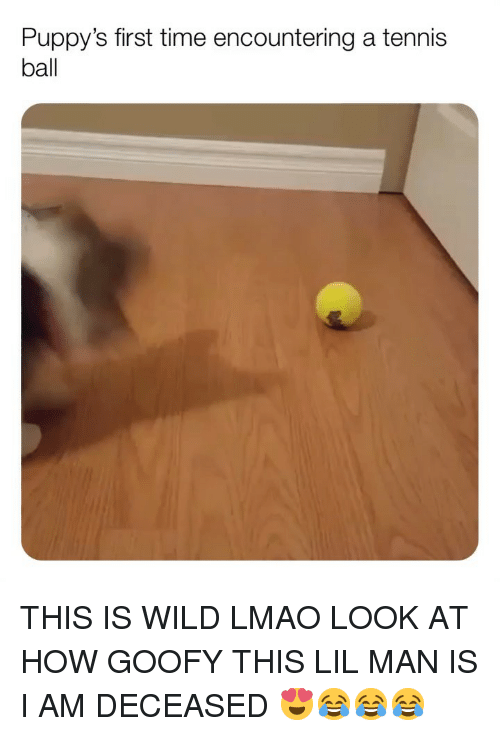 Lmao, Memes, and Tennis: Puppy's first time encountering a tennis  ball THIS IS WILD LMAO LOOK AT HOW GOOFY THIS LIL MAN IS I AM DECEASED 😍😂😂😂