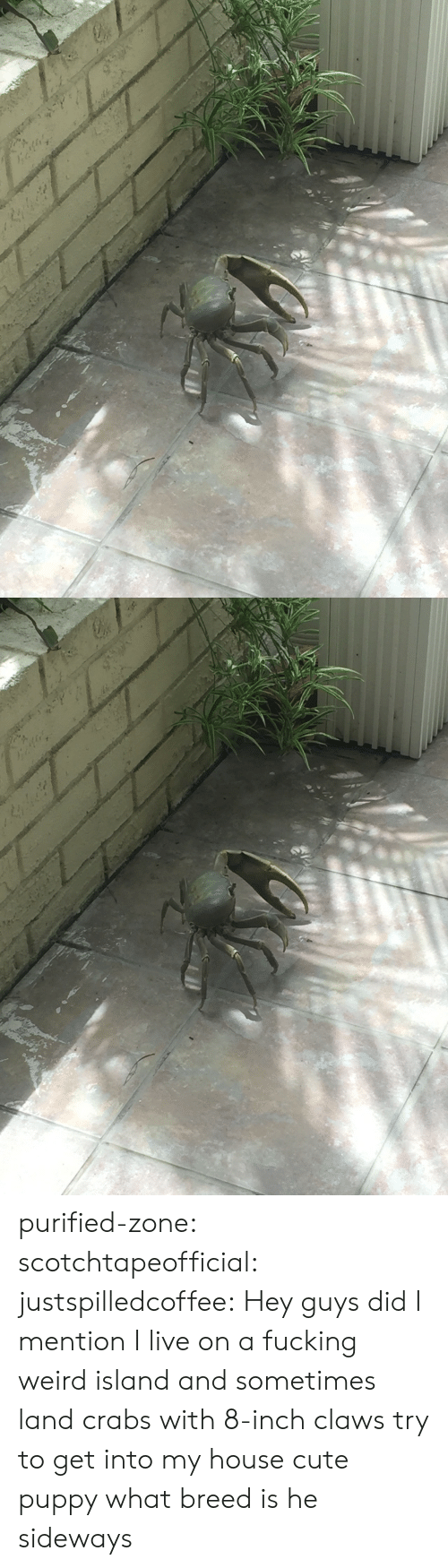 cute puppy: purified-zone: scotchtapeofficial:  justspilledcoffee:  Hey guys did I mention I live on a fucking weird island and sometimes land crabs with 8-inch claws try to get into my house  cute puppy what breed is he  sideways