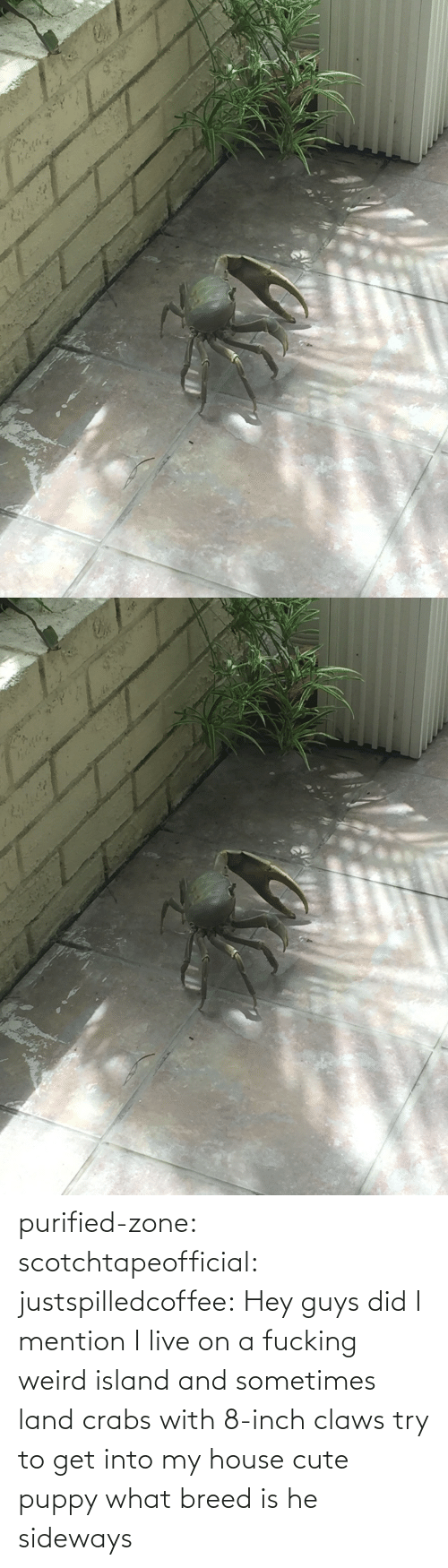 Did I: purified-zone: scotchtapeofficial:  justspilledcoffee:  Hey guys did I mention I live on a fucking weird island and sometimes land crabs with 8-inch claws try to get into my house  cute puppy what breed is he  sideways