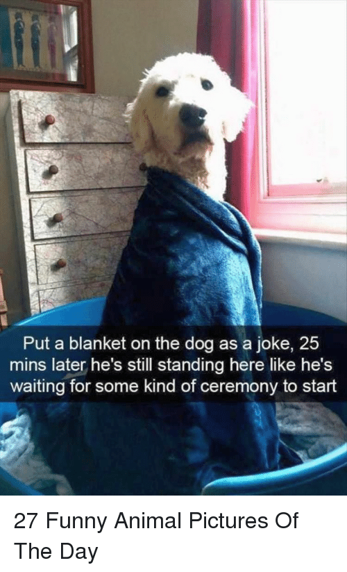 Funny, Animal, and Pictures: Put a blanket on the dog as a joke, 25  mins later he's still standing here like he's  waiting for some kind of ceremony to start 27 Funny Animal Pictures Of The Day