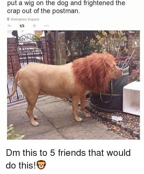 England, Friends, and Memes: put a wig on the dog and frightened the  crap out of the postman  Wokingham, England Dm this to 5 friends that would do this!🦁