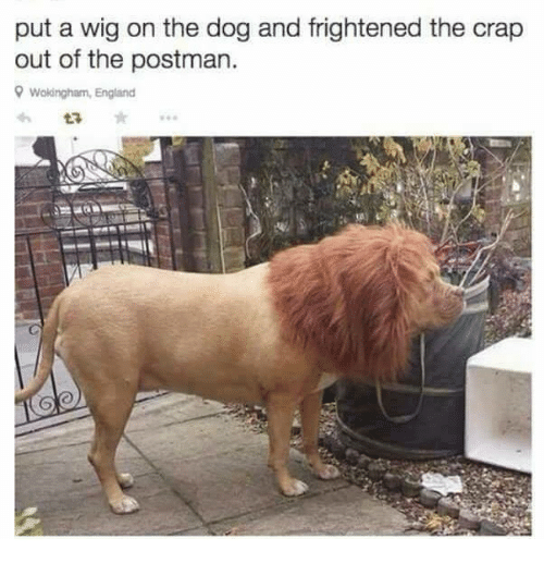 Dogs, England, and Memes: put a wig on the dog and frightened the crap  out of the postman.  9 Wokingham, England