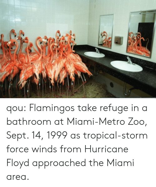 refuge: qou:   Flamingos take refuge in a bathroom at Miami-Metro Zoo, Sept. 14, 1999 as tropical-storm force winds from Hurricane Floyd approached the Miami area.
