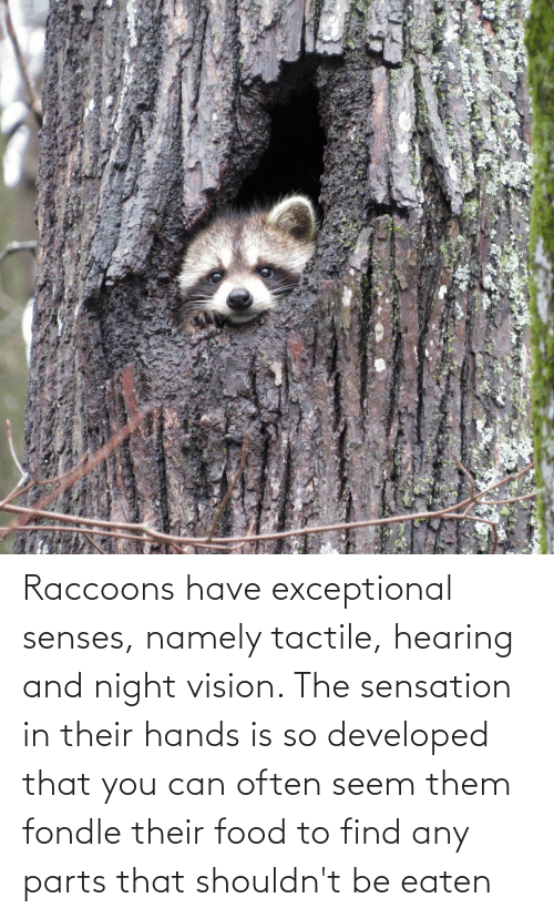 sensation: Raccoons have exceptional senses, namely tactile, hearing and night vision. The sensation in their hands is so developed that you can often seem them fondle their food to find any parts that shouldn't be eaten