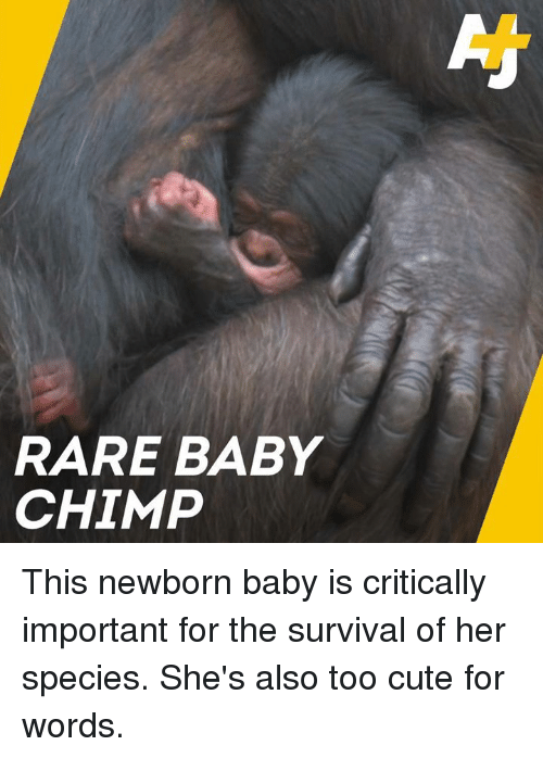 baby chimp: RARE BABY  CHIMP This newborn baby is critically important for the survival of her species. She's also too cute for words.