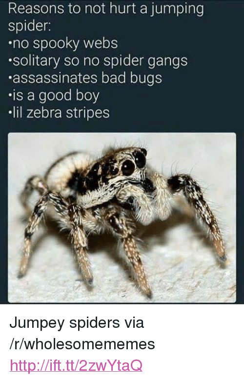 "Bad, Spider, and Good: Reasons to not hurt a jumping  spider:  no spooky webS  solitary so no spider gangs  assassinates bad bugs  .is a good boy  lil zebra stripes <p>Jumpey spiders via /r/wholesomememes <a href=""http://ift.tt/2zwYtaQ"">http://ift.tt/2zwYtaQ</a></p>"