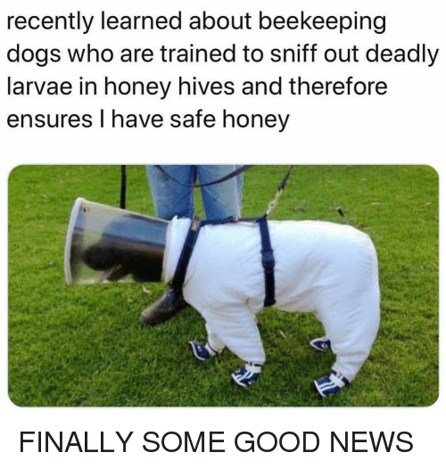 Dogs, Funny, and News: recently learned about beekeeping  dogs who are trained to sniff out deadly  larvae in honey hives and therefore  ensures I have safe honey FINALLY SOME GOOD NEWS