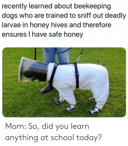 Dogs, School, and Today: recently learned about beekeeping  dogs who are trained to sniff out deadly  larvae in honey hives and therefore  ensures I have safe honey Mom: So, did you learn anything at school today?