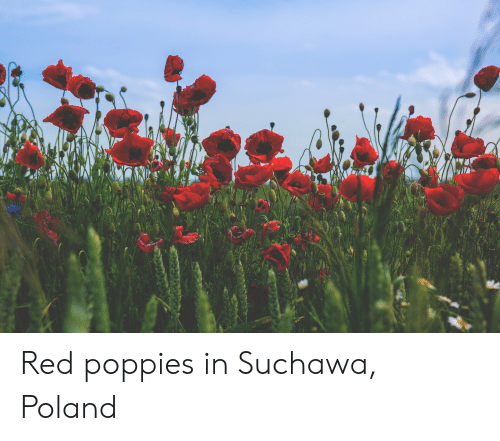 Poppies: Red poppies in Suchawa, Poland