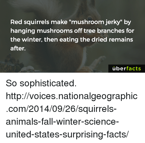"""Uber Facts: Red squirrels make """"mushroom jerky"""" by  hanging mushrooms off tree branches for  the winter, then eating the dried remains  after.  uber  facts So sophisticated. http://voices.nationalgeographic.com/2014/09/26/squirrels-animals-fall-winter-science-united-states-surprising-facts/"""