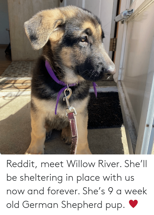 willow: Reddit, meet Willow River. She'll be sheltering in place with us now and forever. She's 9 a week old German Shepherd pup. ♥️