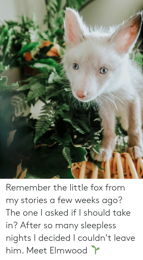 Memes, 🤖, and Fox: Remember the little fox from my stories a few weeks ago? The one I asked if I should take in? After so many sleepless nights I decided I couldn't leave him. Meet Elmwood 🌱
