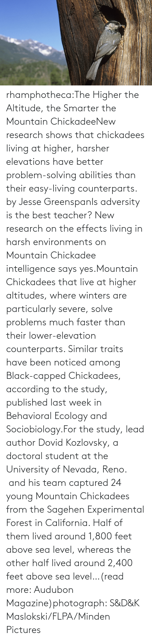 chickadee: rhamphotheca:The Higher the Altitude, the Smarter the Mountain ChickadeeNew research shows that chickadees living at higher, harsher elevations have better problem-solving abilities than their easy-living counterparts. by Jesse GreenspanIs adversity is the best teacher? New research on the effects living in harsh environments on Mountain Chickadee intelligence says yes.Mountain Chickadees that live at higher altitudes, where winters are  particularly severe, solve problems much faster than their  lower-elevation counterparts. Similar traits have been noticed among  Black-capped Chickadees, according to the study, published last week in Behavioral Ecology and Sociobiology.For the study, lead author Dovid Kozlovsky, a doctoral student at the  University of Nevada, Reno.  and his team captured 24 young Mountain  Chickadees from the Sagehen Experimental Forest in California. Half of  them lived around 1,800 feet above sea level, whereas the other half  lived around 2,400 feet above sea level…(read more: Audubon Magazine)photograph:  S&D&K Maslokski/FLPA/Minden Pictures