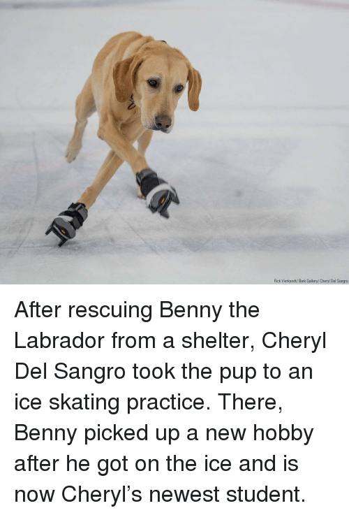 labrador: Rick Vierkandt/Bark Gallery/Cheryl Del Sangro After rescuing Benny the Labrador from a shelter, Cheryl Del Sangro took the pup to an ice skating practice. There, Benny picked up a new hobby after he got on the ice and is now Cheryl's newest student.