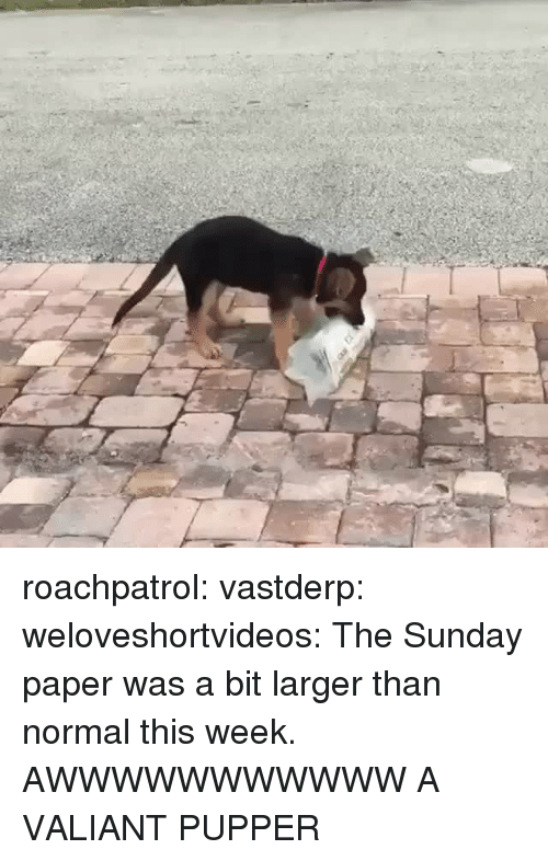 Target, Tumblr, and Blog: roachpatrol:  vastderp:  weloveshortvideos:  The Sunday paper was a bit larger than normal this week.  AWWWWWWWWWWW  A VALIANT PUPPER