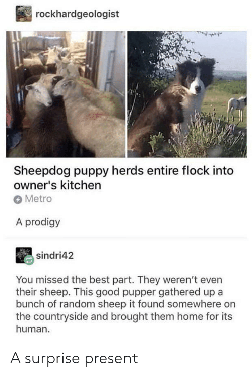 Gathered: rockhardgeologist  Sheepdog puppy herds entire flock into  owner's kitchen  Metro  A prodigy  sindri42  You missed the best part. They weren't even  their sheep. This good pupper gathered up a  bunch of random sheep it found somewhere on  the countryside and brought them home for its  human A surprise present