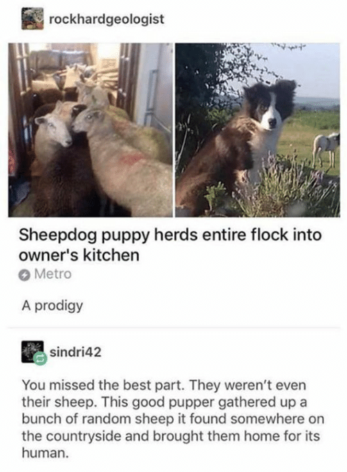 Gathered: rockhardgeologist  Sheepdog puppy herds entire flock into  owner's kitchen  Metro  A prodigy  sindri42  You missed the best part. They weren't even  their sheep. This good pupper gathered up a  bunch of random sheep it found somewhere on  the countryside and brought them home for its  human