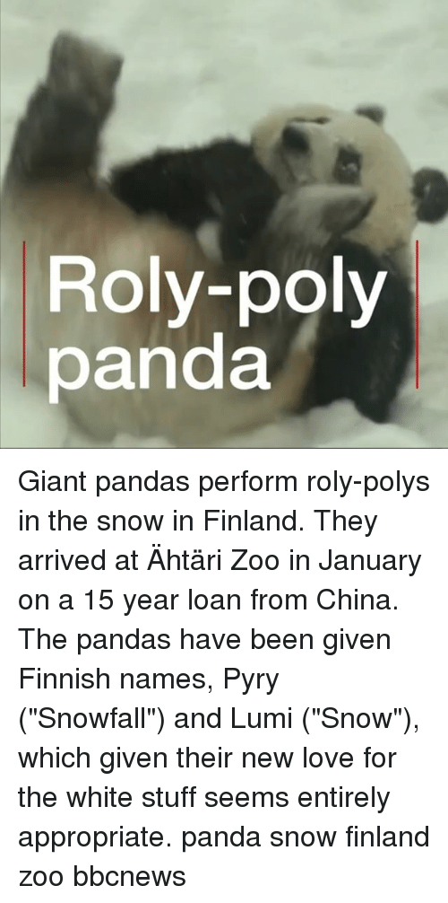 """New Love: Roly-poly  panda Giant pandas perform roly-polys in the snow in Finland. They arrived at Ähtäri Zoo in January on a 15 year loan from China. The pandas have been given Finnish names, Pyry (""""Snowfall"""") and Lumi (""""Snow""""), which given their new love for the white stuff seems entirely appropriate. panda snow finland zoo bbcnews"""