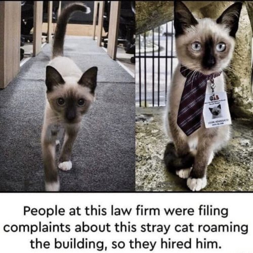 Cat, Him, and Law: rON ADVOGAU  People at this law firm were filing  complaints about this stray cat roaming  the building, so they hired him.