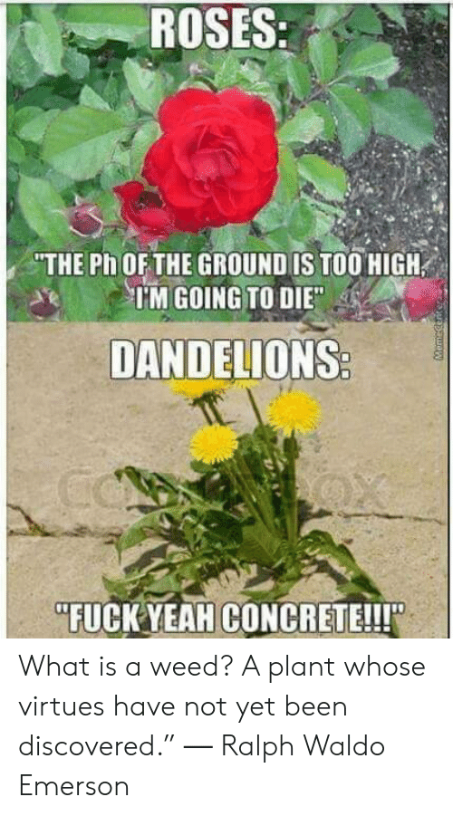 "Weed, Yeah, and Fuck: ROSES:  THE Ph OF THE GROUND IS TOO HIGH  IM GOING TO DIE  DANDELIONS  FUCK YEAH CONCRETE!!!"" What is a weed? A plant whose virtues have not yet been discovered."" ― Ralph Waldo Emerson"
